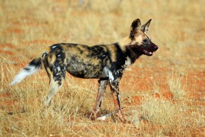 African_wild_dog_(Lycaon_pictus_pictus)