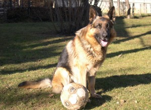 German_shepherd_football